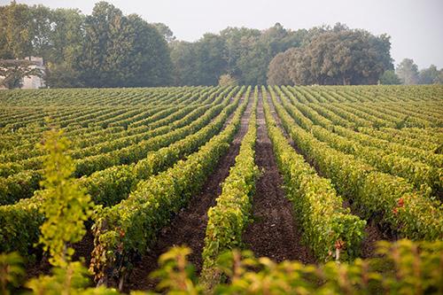 C Bordeaux Weinberge 1